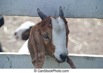 goat head - Goat with head in fence