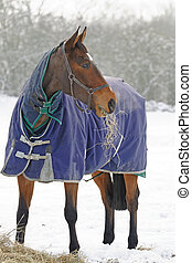 Thoroughbred Horse Eating Hay in Snow - Thoroughbred horse...