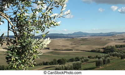 Olive tree in tuscan landscape - Olive tree against a...