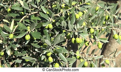Olives - Detail of mediterranean olive tree with ripe green...