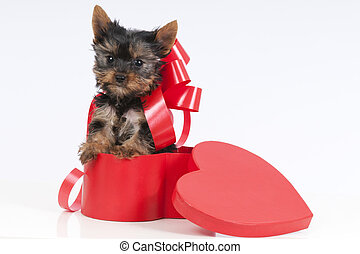 Cute yorkie puppy. - Cute yorkie puppy in a heart shaped...