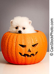 Jack O' Lantern Pumpkin Puppy: Pomeranian puppy on orange,...