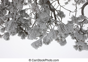 Heavy frost on pine boughs.