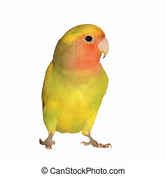 Lovebird isolated on white