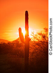 Az sunset Saguaro cactus tree