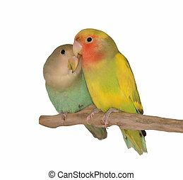 Lovebirds isolated on white background Agapornis roseicollis...