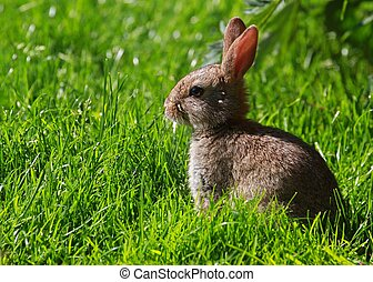 wild rabbit - picture of wild rabbit in UK garden