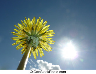 Dandelion flower - Worms eye view of dandelion flower...