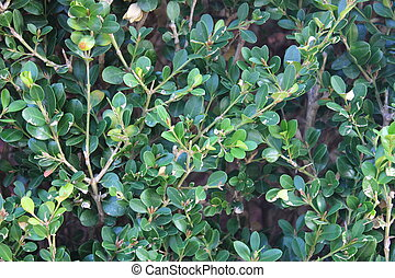Boxwood Background - Close up of boxwood plant used for...