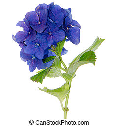 Lacecap Hydrangea - Side view of Lacecap Hydrangea isolated...