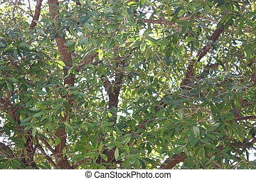 Live Oak Tree - Close up of a live oak tree foliage with...