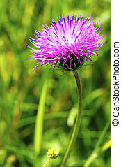 Thistle Blossom - Beautiful violet thistle blossom