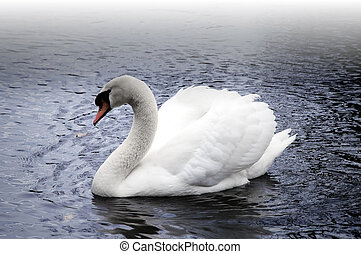 Swan in the Fog - Beautiful white mute swan on a foggy lake....