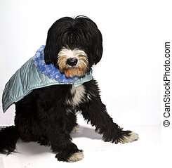 Prince Charming dog - a black dog sweet Prince Charming blue