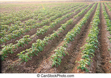 Rows of recently sprouted potatoes growing in a field