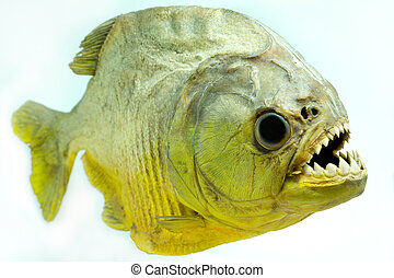 Piranha Lateral - Piranhas are found in the Amazon basin, in...