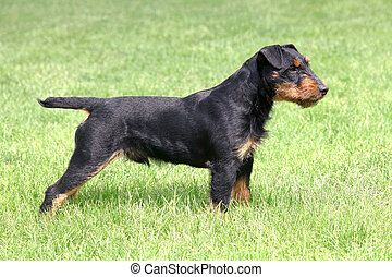 German Hunting Terrier - The portrait of German Hunting...