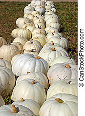 White Pumpkins - A long line of pretty white pumpkins