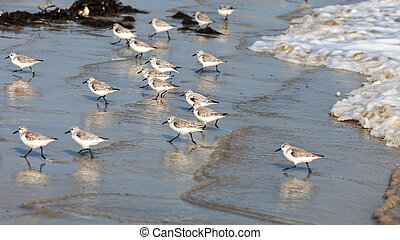 Sandpipers Running - Panning image of tiny Semipalmated...