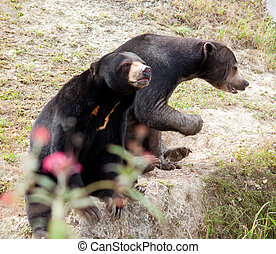 malaysian sun bears - two Malaysian sun bears sitting on the...