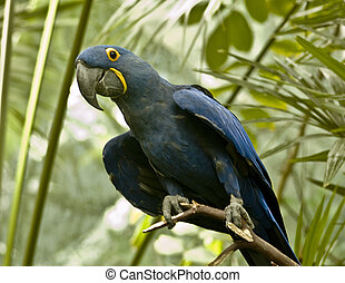 azul, papagallo