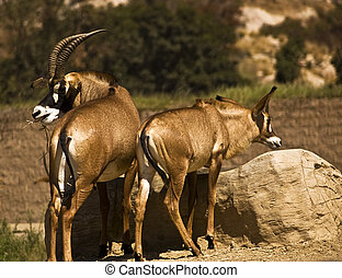 Roan Antelope - This is a picture of a male and female roan...