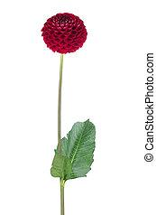 flower  - Red dahlia flower on white
