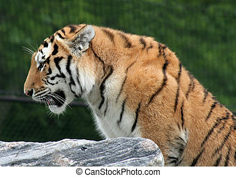 Mighty Siberian Tiger - A profile shot of a Siberian tiger