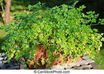 Flat leaved parsley - A terracotta pot of flat leaved...