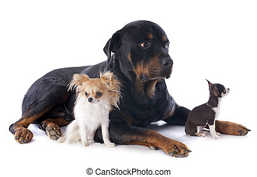 rottweiler and chihuahuas - portrait of rottweiler and...