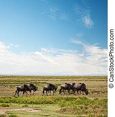 Wildebeest, Gnu on African savanna - Wildebeests herd, Gnu...
