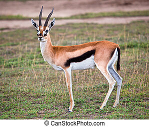 Thomson's gazelle on savanna in Africa. Safari in Serengeti,...