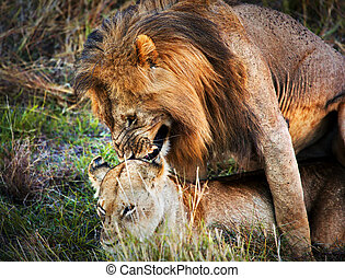 A couple of lions copulation on savanna Serengeti, Tanzania,...