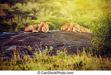 Lions on rocks on savanna at sunset. Safari in Serengeti, Tanzania, Africa