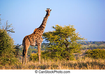 Giraffe on savanna Safari in Serengeti, Tanzania, Africa -...