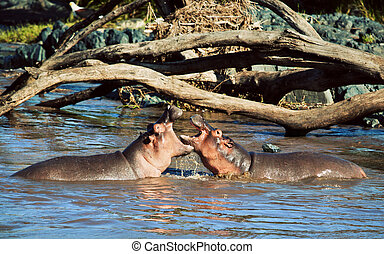 Hippo, hippopotamus fighting in river. Serengeti, Tanzania,...