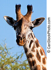 Giraffe portrait close-up, looking at the camera. Safari in...