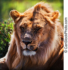 Young adult male lion portrait. Safari in Serengeti, Tanzania, Africa