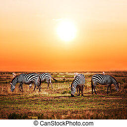 Zebras herd on African savanna at sunset - Zebras herd on...
