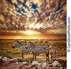 Sonnenuntergang, afrikanisch, savanne,  Zebras, herde