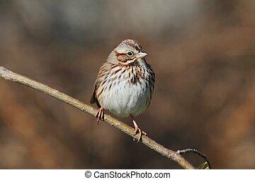 Juvenile Song Sparrow (Melospiza melodia)
