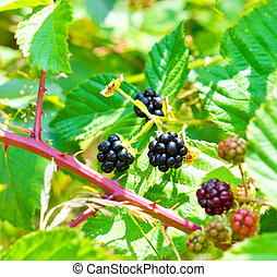 Blackberry bush with ripe and unripe berries in the wild...