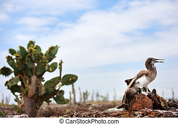 Blue footed booby chick at Los Tuneles, Galapagos islands,...