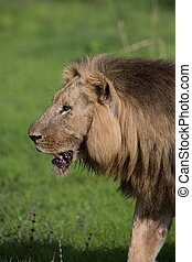 Lion on safari in Zambia - A high resolution image of a Lion...