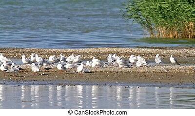 Seagulls in the lake