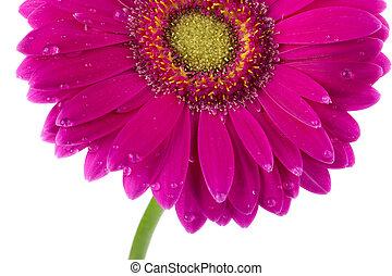 25 wet pink daisy - Close-up shot of wet pink daisy flower