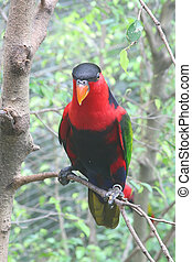 Parrot - Colorful Lori Parrot Commonly Found in the Tropics