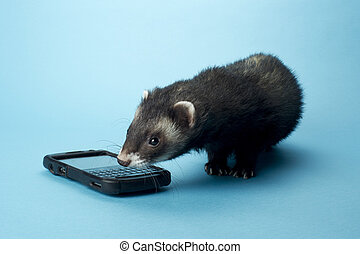 430 ferret with cellphone - Young ferret smelling a...