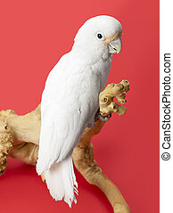 516 white parrot - Portrait of a white parrot standing on a...