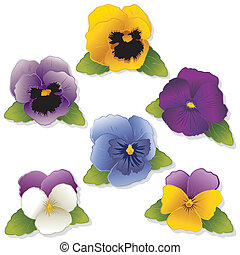 Pansies and Johnny Jump Ups Violas Spring flowers isolated...